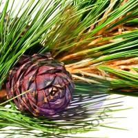 Cedar Fragrance for Rainbow and RainMate