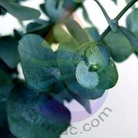 Eucalyptus Fragrance for Rainbow & RainMate