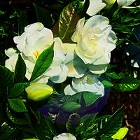 Gardenia Fragrance for Rainbow & RainMate