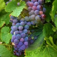 Grape Fragrance for Rainbow & RainMate