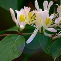 Honeysuckle Fragrance for Rainbow & RainMate
