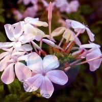 Jasmine Bouquet Fragrance for Rainbow & RainMate