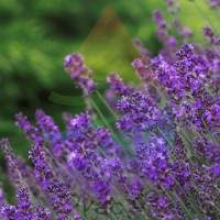 Lavender Fragrance for Rainbow & RainMate