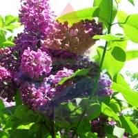 Lilac Fragrance for Rainbow & RainMate