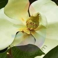 Magnolia Fragrance for Rainbow & RainMate